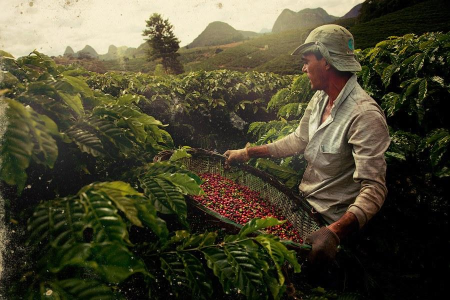Farming coffee