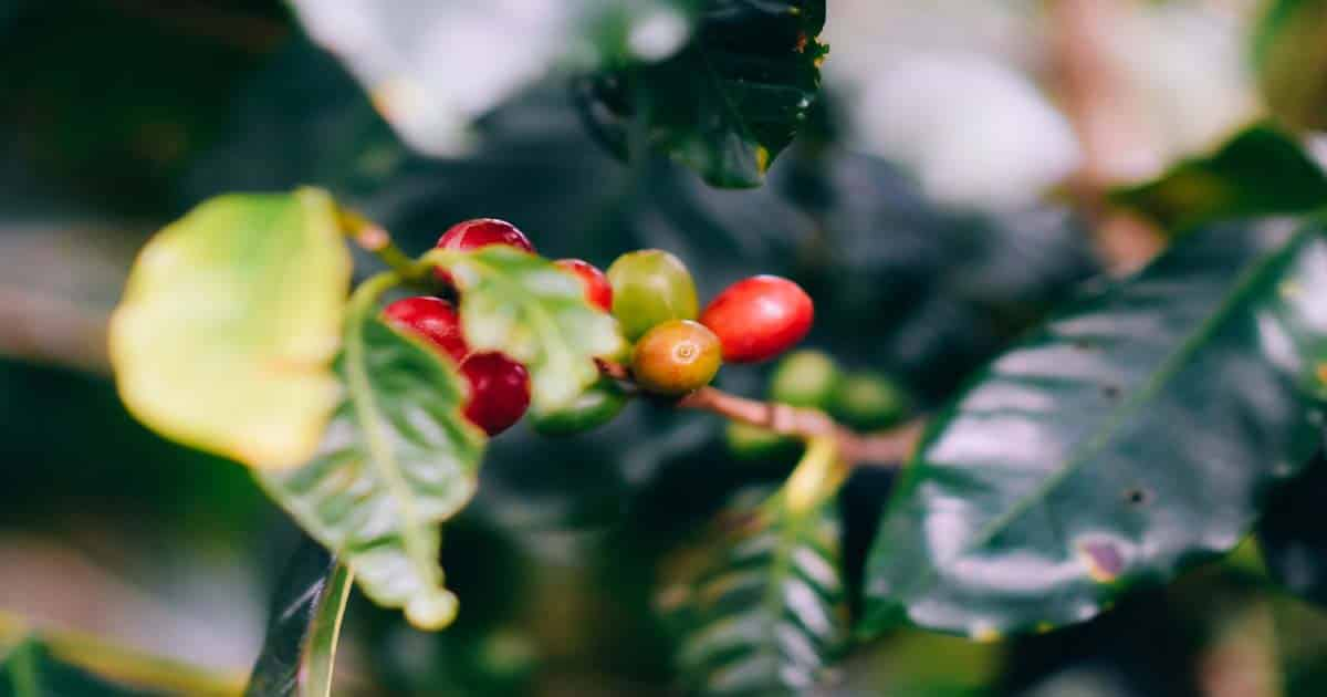 How to Grow a Coffee Plant at Home